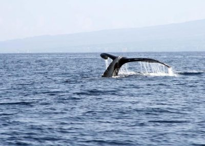 Guadeloupe Whale